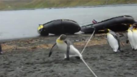 一群蠢萌的企鹅过绳子,一只一只摔过去,轮到最后一只时反应亮了