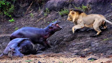 河马妈妈被狮群干倒,小河马和雄狮殊死决斗,镜头拍下揪心一幕!