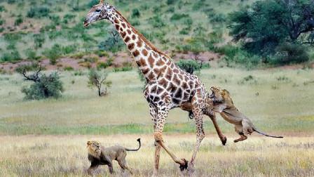 """狮群捕杀长颈鹿,本以为胜负已定,没想到瞬间狮子被""""开瓢""""!"""