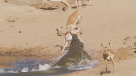 羚羊河边饮水解渴,鳄鱼暗中潜伏,不料悲催的一幕发生了