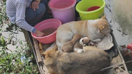 洪水把家毁了,一群狗和人住到了船上,两只小奶狗生病了