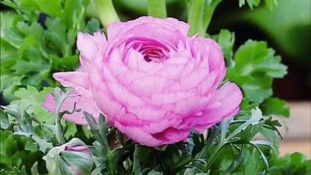 刚收到两盆带花的花毛茛,我去年养的怎么还没开花?