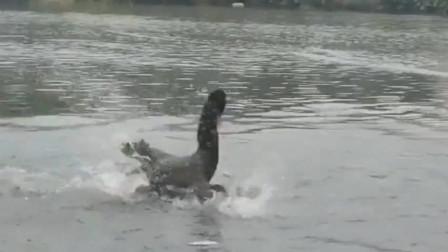 狗子在河里游泳,在远方飞过来一只黑天鹅,接下来发生的一幕出乎我的意料啊
