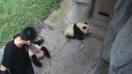 熊猫:不回家还躺地上耍赖的熊孩子,咋看咋眼熟是不是你家的?