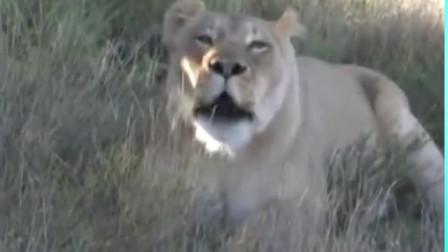 老虎把小老虎弄丢了,没想到却被狮子捡到抚养起来