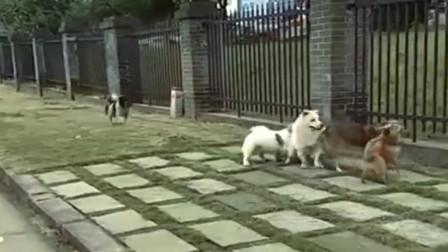 狗一旦胖了就会被同伴抛弃,接下来的事,真是太伤狗的心了!