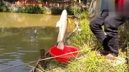 这么好的鲫鱼鱼口,网红鱼竿效果还是很不错的