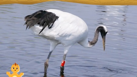 萌鸡小队趣自然鹤的腿为什么又细又长?