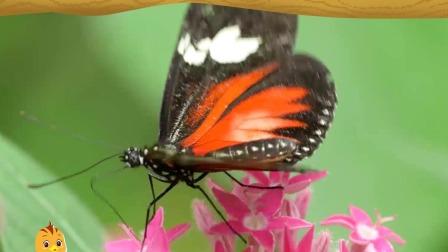 萌鸡小队趣自然蝴蝶的翅膀为什么会五颜六色?