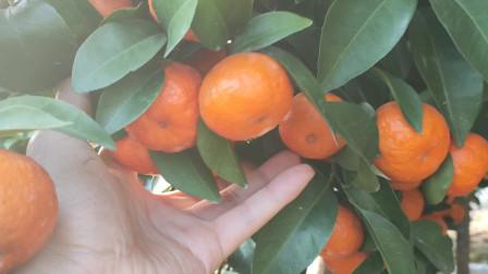 广西砂糖橘滞销,农村小伙网上零售,太好卖了