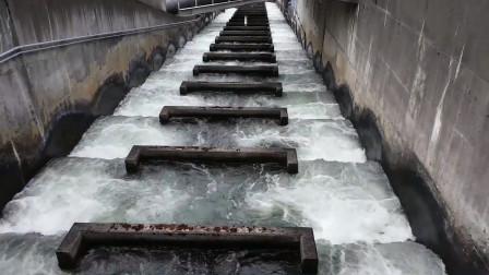 """水坝太高鱼群跳不上去,人类帮忙修""""鱼梯"""",接下来一幕太壮观了"""