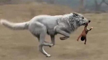 狼遇到人类婴儿,为什么会养大而不吃掉?终于解开多年疑惑!