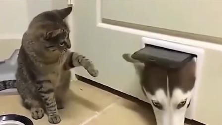 二哈想从洞口出来,被猫咪小拳拳一顿揍,只能乖乖的回去了