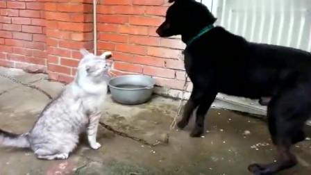 猫咪欺负大黑狗,使用连环猫拳,打的黑狗不敢还手