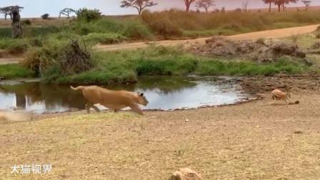 狮子狩猎瞪羚,结果被瞪羚摆了一道,场面十分尴尬