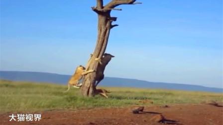 贪玩的小狮子,被困在树上下不来,母狮前来帮忙