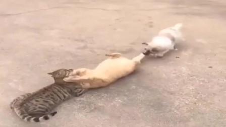 橘猫有点嚣张,二狗子你别拉我,我要和他分个胜负!