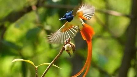 寿带鸟洗澡  通如制作上传 (凤凰的旁支寿带鸟)