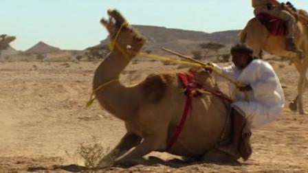 倔强骆驼不想被骑,和主人对着干,看完让人哭笑不得