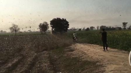 蝗虫战斗群入侵印度西部,40万公顷农作物减产绝收