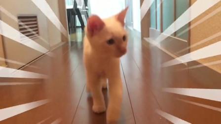我见过最粘人猫,一会见不到主人,满屋叫着找人