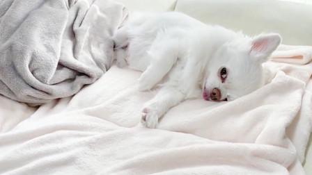 戏精狗狗为了逃避散步,假装睡觉,这演技太到位了