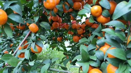 我现在才发现:砂糖橘果园,可以拍得那么美