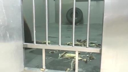 话痨大熊猫金虎:大熊猫金虎不开心,嘤嘤嘤,好委屈