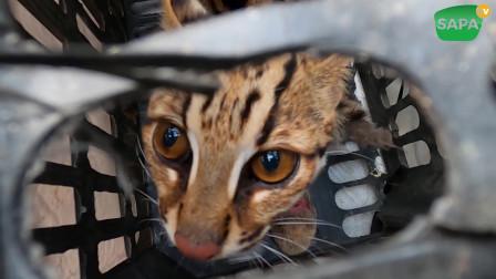 在越南山区遇到有人卖这个野生动物豹猫,野猫,买起来了 , 广西人叫扎鸡虎 祝它顺利平安
