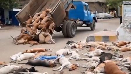 数百条狗躺在街头,被铲车集中处理,真相让人很心酸