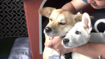 狗狗患病主人关爱同伴关心,这只狗狗太有福了