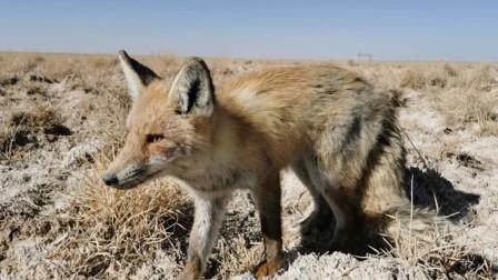 森林公安救助野生沙狐后将其放生 多次驱赶它也不愿离去