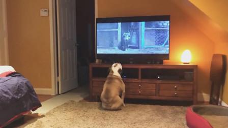 沙皮狗正在看电影,这时候电视里出来一只狗狗,沙皮狗站起来了!