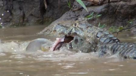 鳄鱼不怕电,生吞电鳗,这时食人鱼闻腥赶来,镜头记录全过程