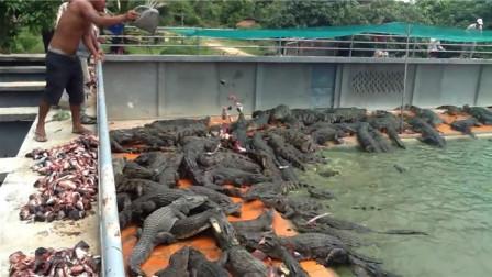 原来鳄鱼的天敌是它,看见了第一时间跑,不然小命都不保