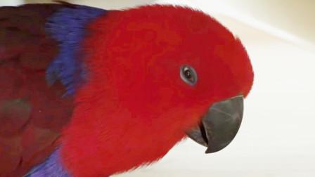 女子家养了只鹦鹉,结果成了家里的一霸,网友:现实版愤怒的小鸟