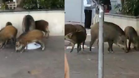 香港闹市区惊现5头野猪 淡定觅食丝毫不怕围观路人