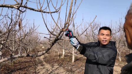 唐老师讲解果树管理樱桃树该怎么管理,什么是轻剪长放