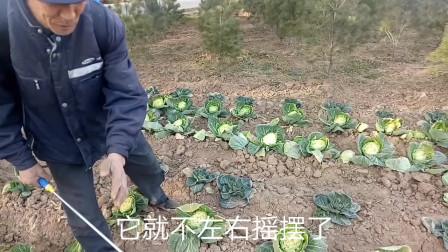 一亩地轻松挣一万,一个农村致富小项目,甘兰菜育种