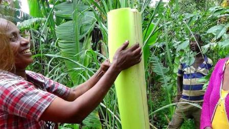 非洲最神奇的植物,内含淀粉养活1500万非洲人,大自然的神奇太美妙