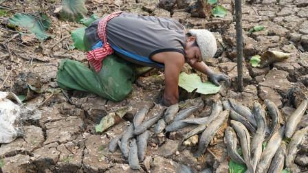 藕田干裂了,大叔挖开一块块泥块,野鱼抓了一条又一条!