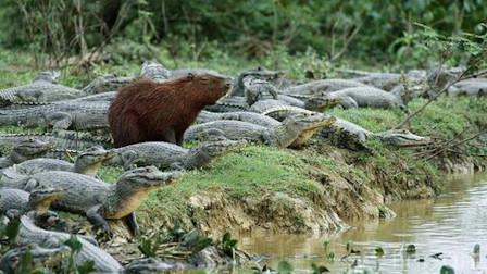 水豚原来是这么厉害的动物吗?在鳄鱼堆里找吃的,还踩人家尾巴!