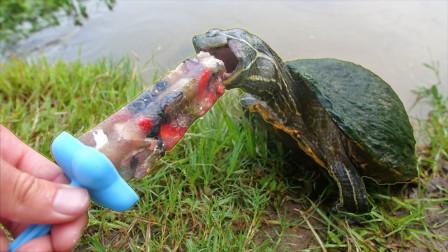 主人自制雪糕喂乌龟,一口咬下去后,大家憋住别笑!