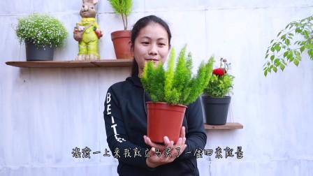 有种花很奇特,比文竹好养10倍,长得快又好看!
