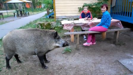 野猪闯进院子,女子给投它投食后,感觉不对劲了!