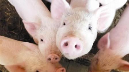 农村农业部:湖北省神农架林区发生野猪非洲疫情,共发现野猪7头