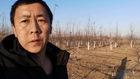 樱桃管理,毛细根是果树营养库,春天旋耕果园,会大量切断毛细根