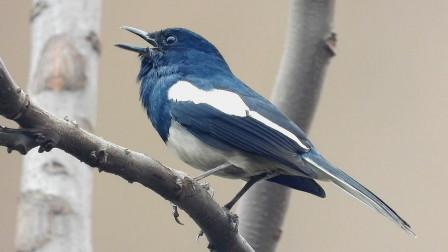 原生态野生鸟,四喜鸟叫声,很好听哟