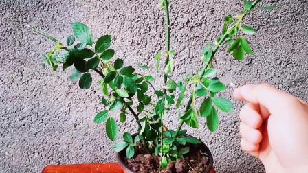 月季开花量很大,不长新枝条怎么办?使用这3种方法,轻松冒笋芽