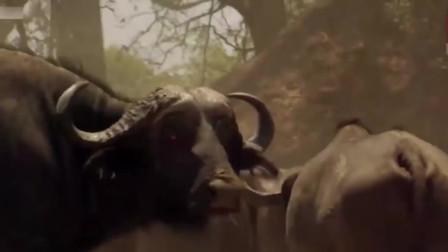 水牛水塘激烈12只狮子,以及犀牛碾压狮群,太精彩了